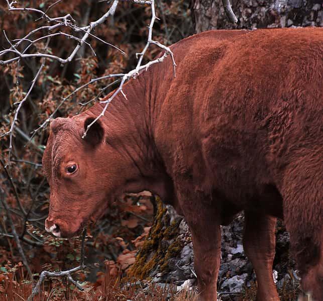 chukat red heifer